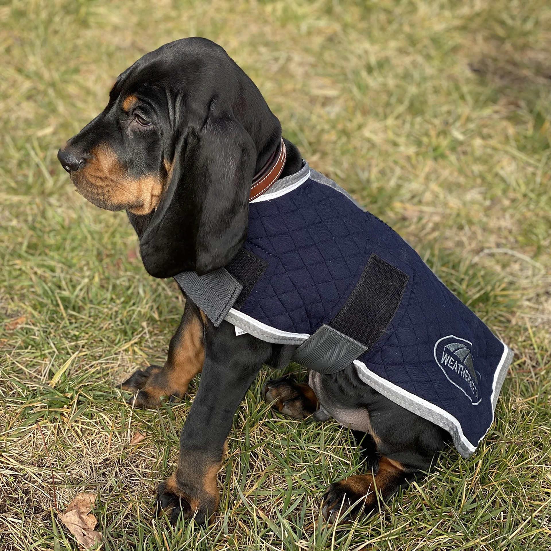 Puppy wearing the WeatherBeeta Thermic Dog Coat