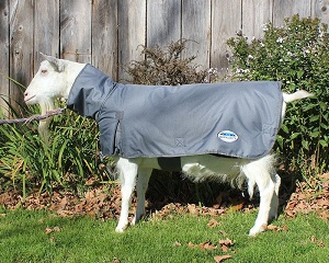 Daisy the goat wearing her high neck WeatherBeeta goat coat
