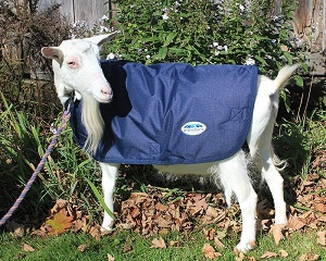 Daisy the goat wearing her lighter WeatherBeeta goat coat