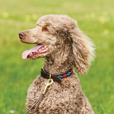 Poodle wearing the WeatherBeeta Polo Dog Collar